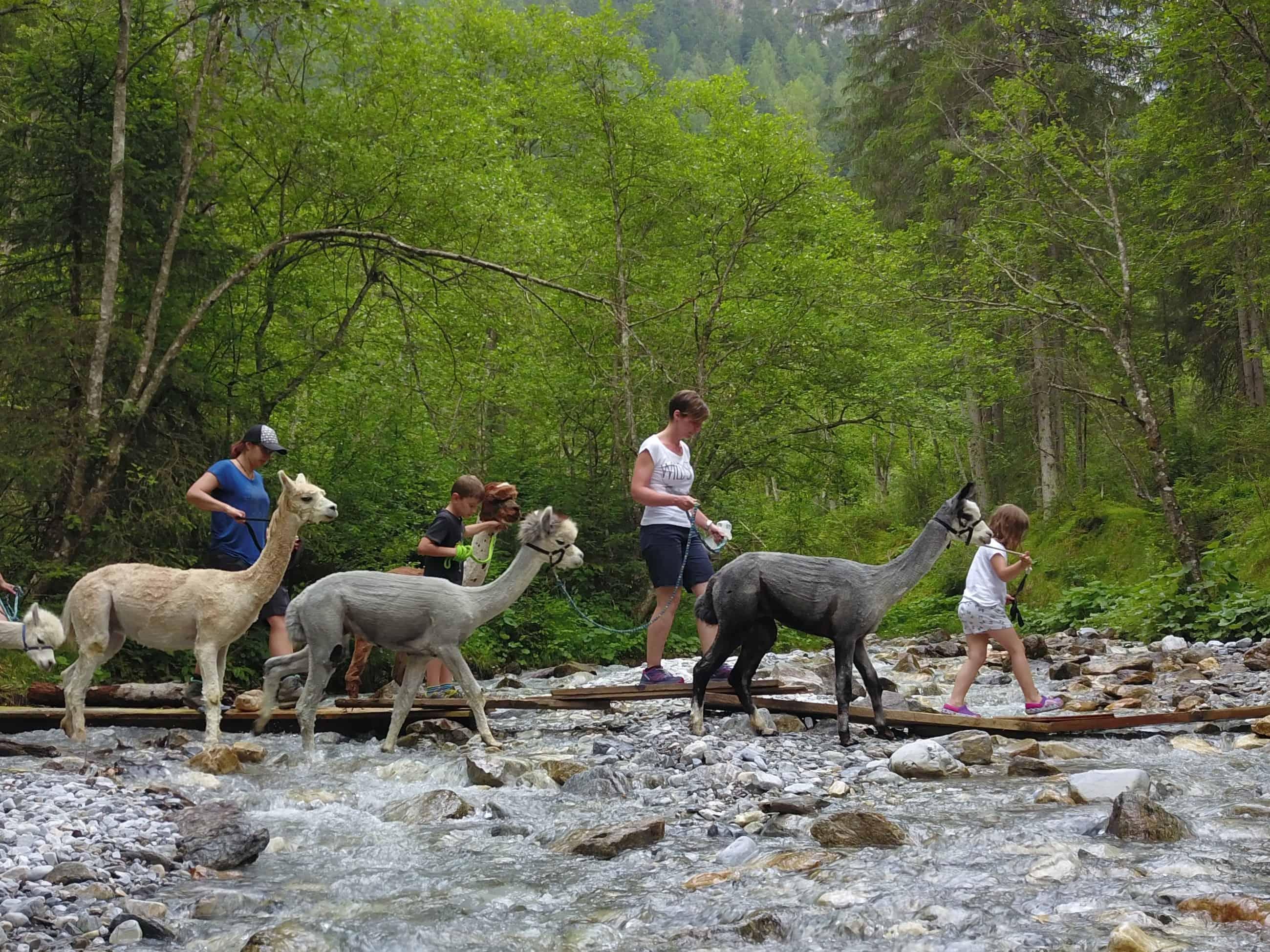 DJI_0228-1 Alpakas Fotos
