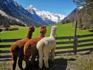Gschnitzer-Alpaka-Ausblick-scaled Alpakas Fotos