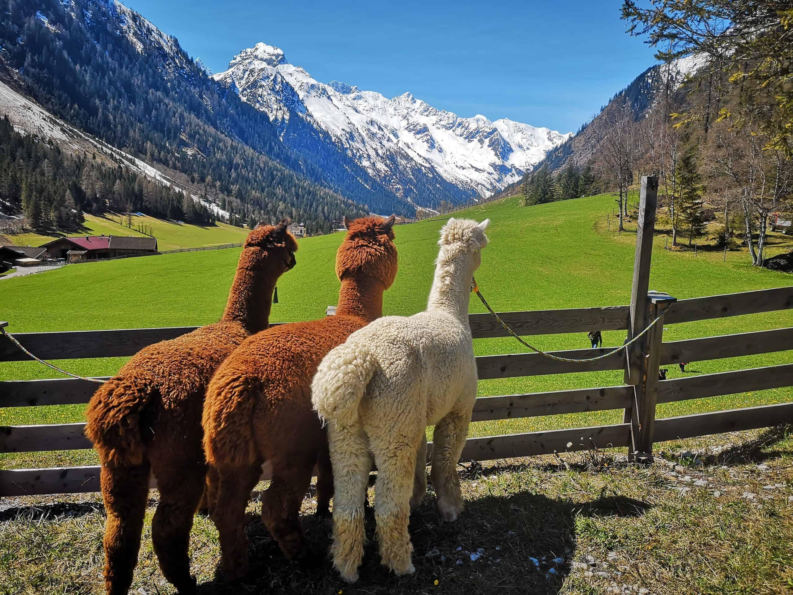 Gschnitzer-Alpaka-Ausblick-scaled Wanderungen