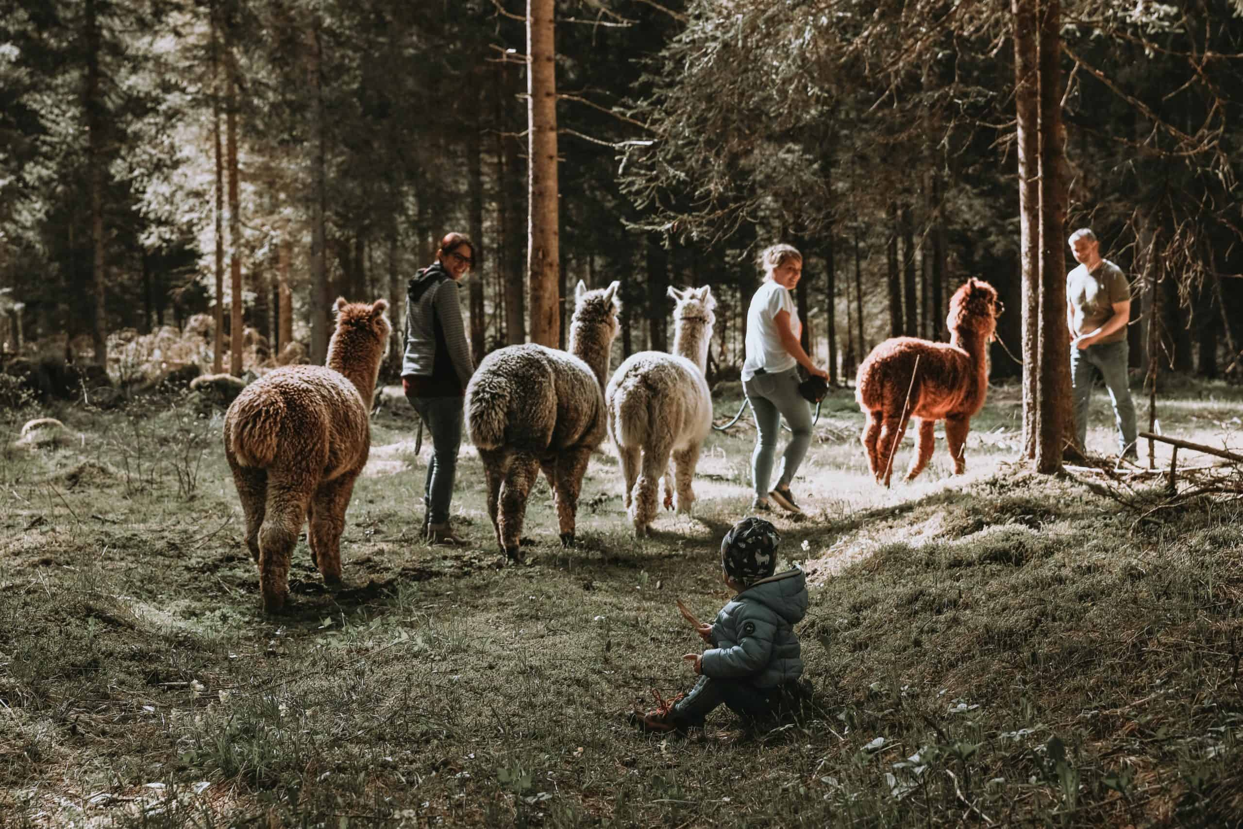 Gschnitzer_Alpaka-Alpakas-Wanderungen-Tirol-01-scaled unsere Herde