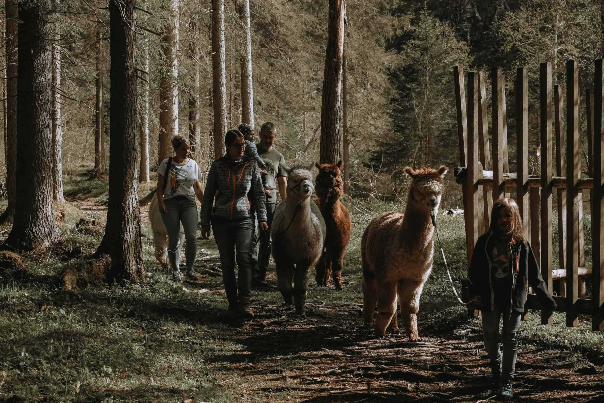 Gschnitzer_Alpaka-Alpakas-Wanderungen-Tirol-07-scaled Wanderungen