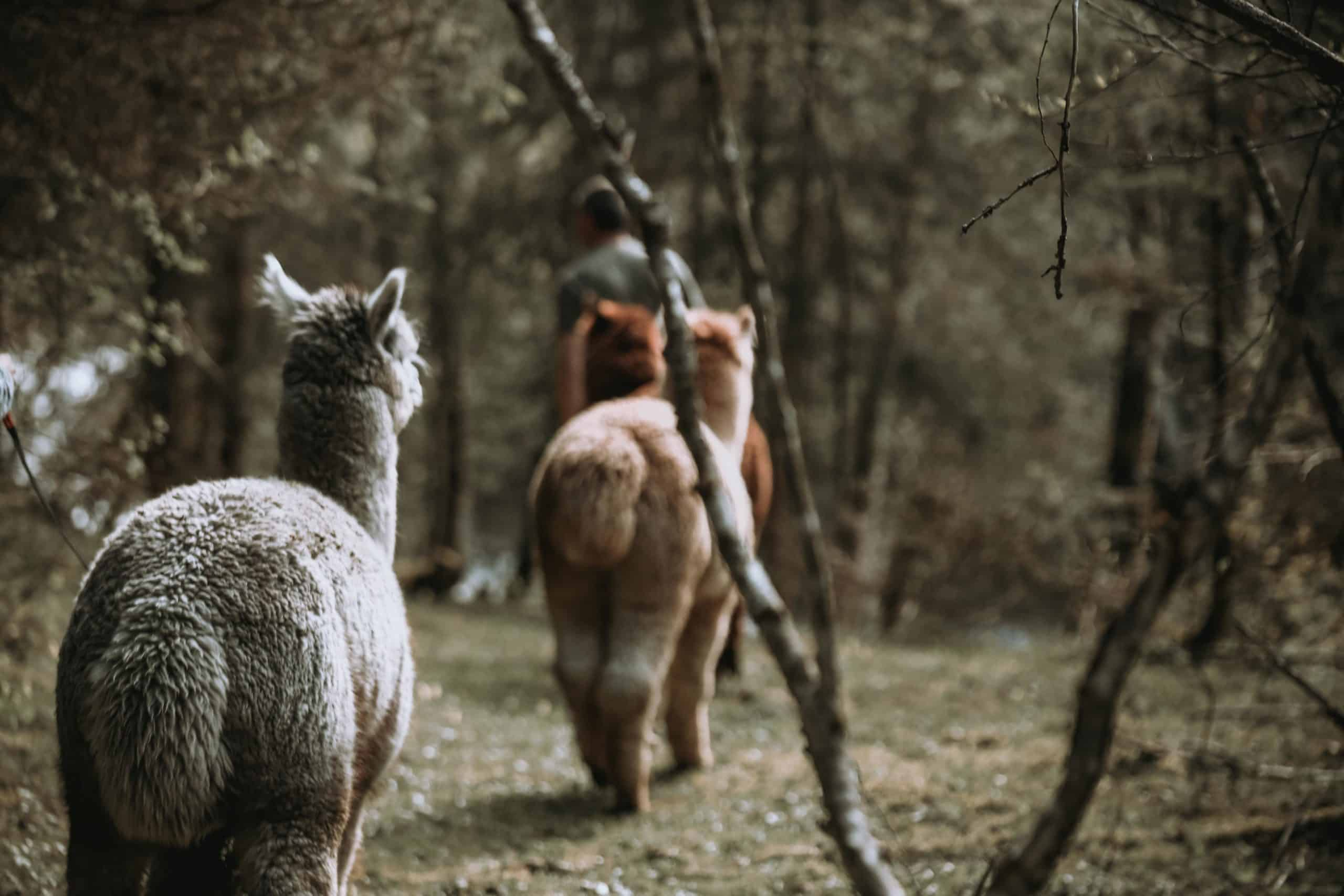 Gschnitzer_Alpaka-Alpakas-Wanderungen-Tirol-08-scaled unsere Herde