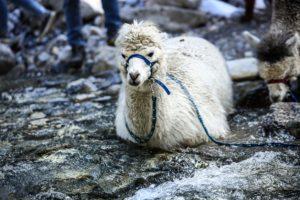 Gschnitzer_Alpaka-Alpakas-Wanderungen-Tirol-09-scaled Wanderungen