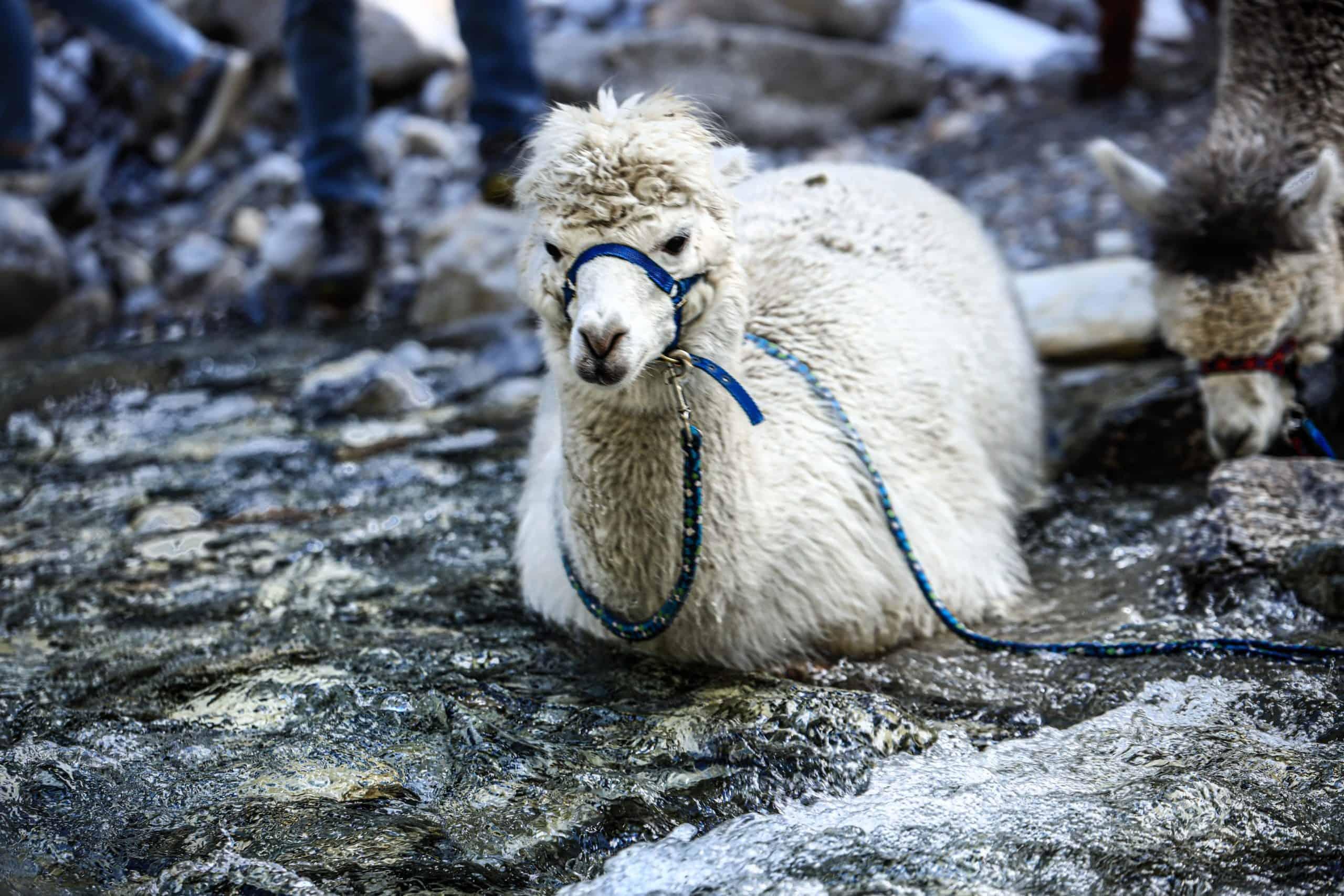 Gschnitzer_Alpaka-Alpakas-Wanderungen-Tirol-09-scaled unsere Herde